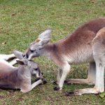 kangourous, Australie